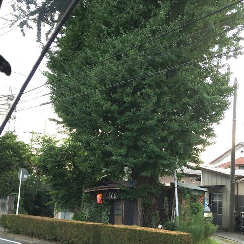 イチョウの木が大きい!!